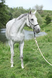 White English Thoroughbred horse in front of river Stock Photo