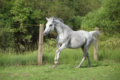 White English Thoroughbred horse in paddock Stock Images