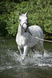 White English Thoroughbred horse in river Royalty Free Stock Photos