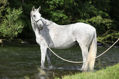 White English Thoroughbred horse in river Royalty Free Stock Photo