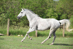 White English Thoroughbred horse running in paddock Stock Photo