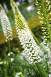 White Eremurus or Foxtail Lily Royalty Free Stock Image
