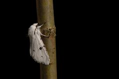 White Ermine moth Stock Images