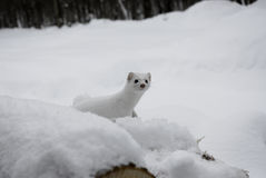 White Ermine. In snow in Northern Michigan royalty free stock photography