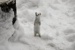 White Ermine. Standing on hind legs in snow in Michigan Stock Photo