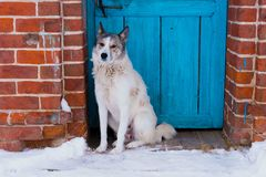 White Eskimo dog at the door. White Eskimo dog sits at the door of the house on the street in winter stock photo