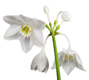 White Eucharis Grandiflora Flower. Isolated on white background stock photo