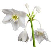 White Eucharis Grandiflora Flower Stock Photo