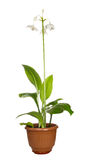 White Eucharis Grandiflora Flower Royalty Free Stock Image