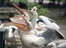 White european pelicans eating fish. Group of white european pelicans with big beaks eating fish royalty free stock image