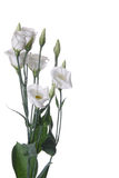 White eustoma flower Stock Photo
