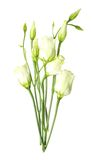White eustoma flowers Royalty Free Stock Photography