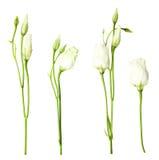 White eustoma flowers Royalty Free Stock Photography