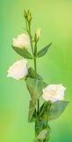 White Eustoma, Lisianthus flower, family Gentianaceae, , bokeh background, close up. Stock Photo