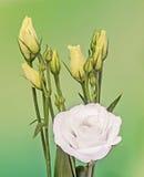 White Eustoma, Lisianthus flowers, yellow buds, family Gentianaceae, , bokeh background, close up Royalty Free Stock Photo