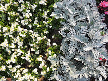 White ever flowering begonia (Begonia semperflorens) and cineraria (Cineraria maritima) Stock Photography