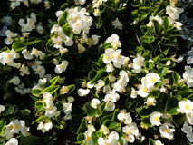 White ever flowering begonia (Begonia semperflorens), family Begoniaceae Stock Images
