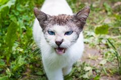 White Evil Cat on dirt and weeds background. White cat looking evil walks to the camera. White fur on the body and short darker hair on the head and ears. Blue stock photo