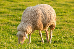 White ewe grazing Stock Photos