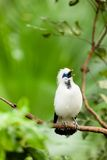White exotic bird on a branch singing Royalty Free Stock Photography