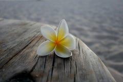 White exotic flower on wood. Mauritius Stock Photo
