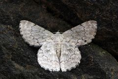 White exotic moth of western ghats, south india Royalty Free Stock Photos