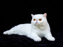 White exotic Persian copper eye cat black velvet Stock Photo