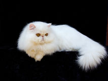 White exotic Persian copper eye cat black velvet. Adult show quality purebred exotic persian cat on black velvet stock photography