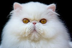 White exotic Persian copper eye cat black velvet. Adult show quality purebred exotic persian cat on black velvet stock image
