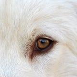 White eye_01. A labrador dogs stares while I take the shot Stock Image
