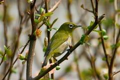 A White-eye bird 2 Stock Photo