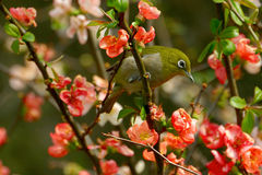 A White-eye bird Royalty Free Stock Photography
