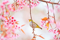 White-eye Bird with Cherry Blossom Royalty Free Stock Photography