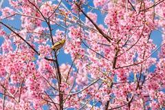 White-eye bird on cherry blossom and sakura Stock Photo