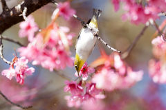 White-Eye Bird on Cherry Blossom and Sakura Stock Images