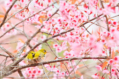 White-eye bird and cherry blossom or sakura Royalty Free Stock Images