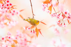 White-eye bird and cherry blossom or sakura Stock Photos