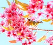 White-eye bird and cherry blossom or sakura Stock Image