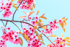 White-eye bird and cherry blossom or sakura Royalty Free Stock Photos