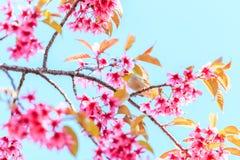 White-eye bird and cherry blossom or sakura Royalty Free Stock Photos