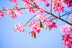 White-Eye Bird on Cherry Blossom and Sakura Royalty Free Stock Images
