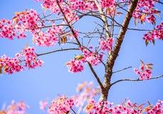 White-Eye Bird on Cherry Blossom and Sakura Stock Images
