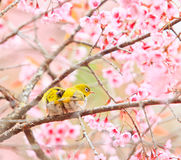 White-eye bird on Cherry Blossom tree Royalty Free Stock Images