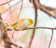 White-eye bird on Cherry Blossom tree Royalty Free Stock Photo