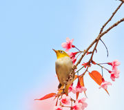 White-eye bird on Cherry Blossom tree Stock Photos