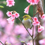 White-Eye Bird on Cherry Blssom Stock Images