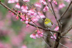 White-Eye Bird on Cherry Blssom Stock Photo