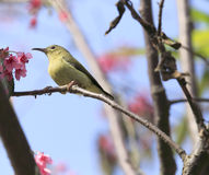 Sunbird  on sakura tree Stock Images
