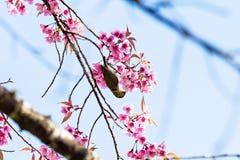 White-eye bird standing on cherry blossom Royalty Free Stock Photos