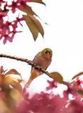 White-eye bird on twig of pink cherry blossom Stock Photography